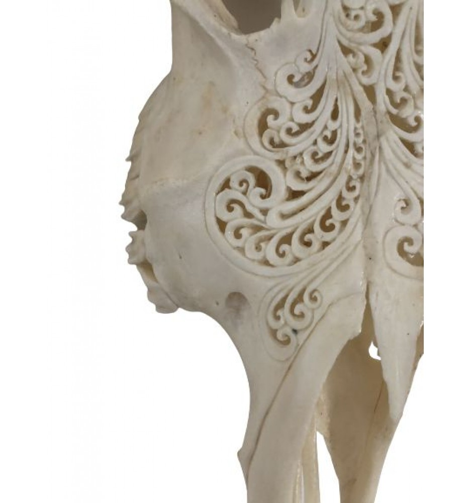 Scrimshawed Asian Water Buffalo Skull